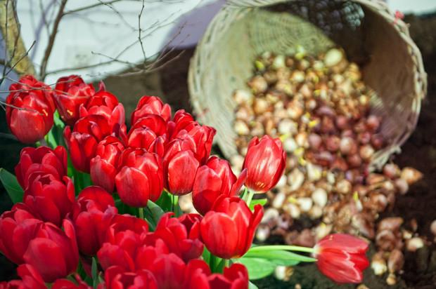 Darmowe cebulki kwiatów (tulipany, narcyzy i krokusy) - Urząd Miasta, Gdańsk