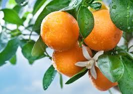 Pomarańcze za 1,89zł/kg @ Netto