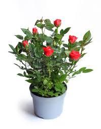 Róża w doniczce za 4,99zł @ Tesco