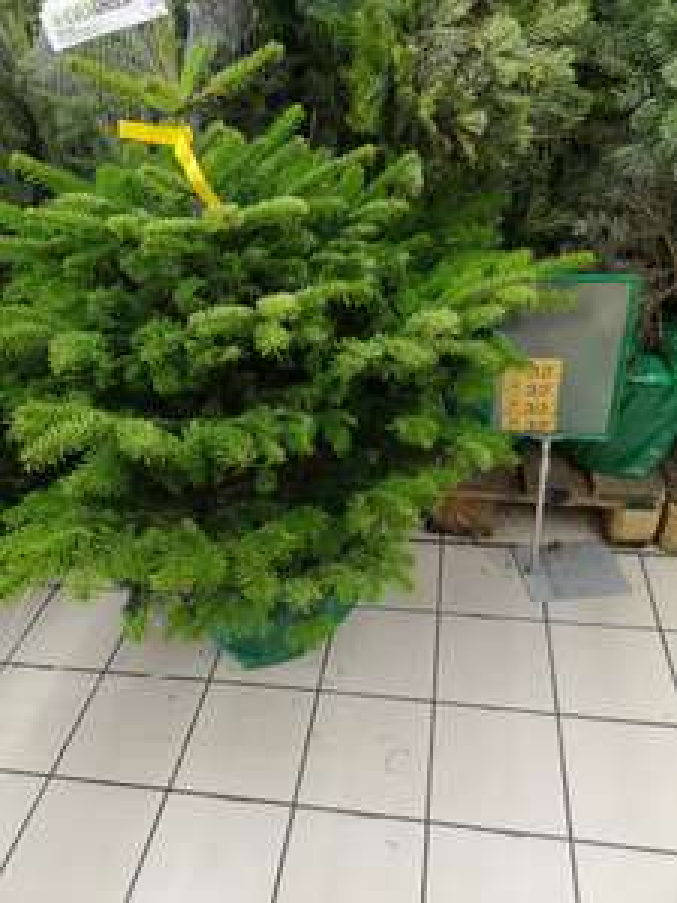 Choinka Jodła Kaukaska 80-100 cm w doniczce Auchan Gdańsk