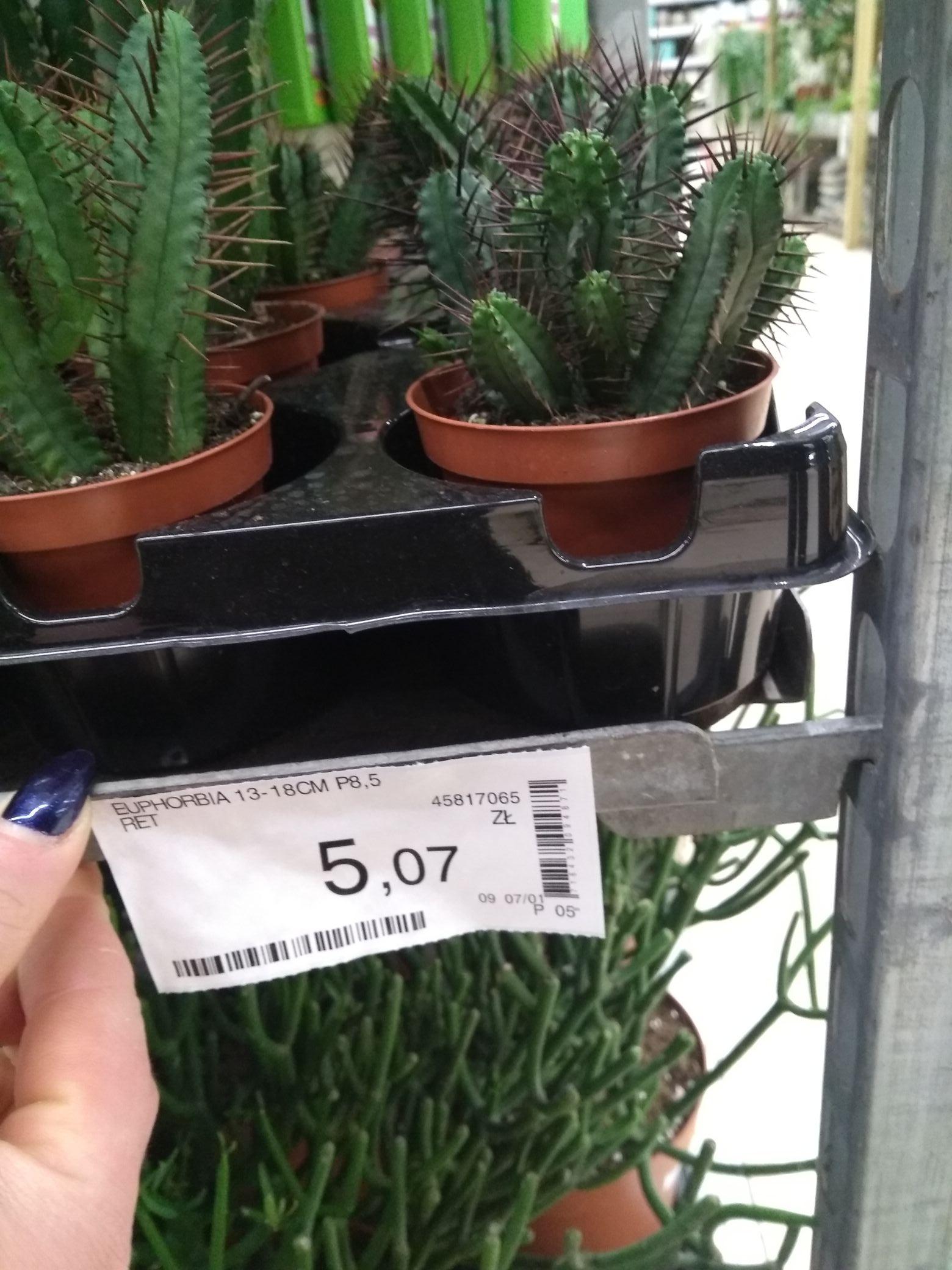 Wyprzedaż kaktusów Leroy Merlin Poznań Swadzim