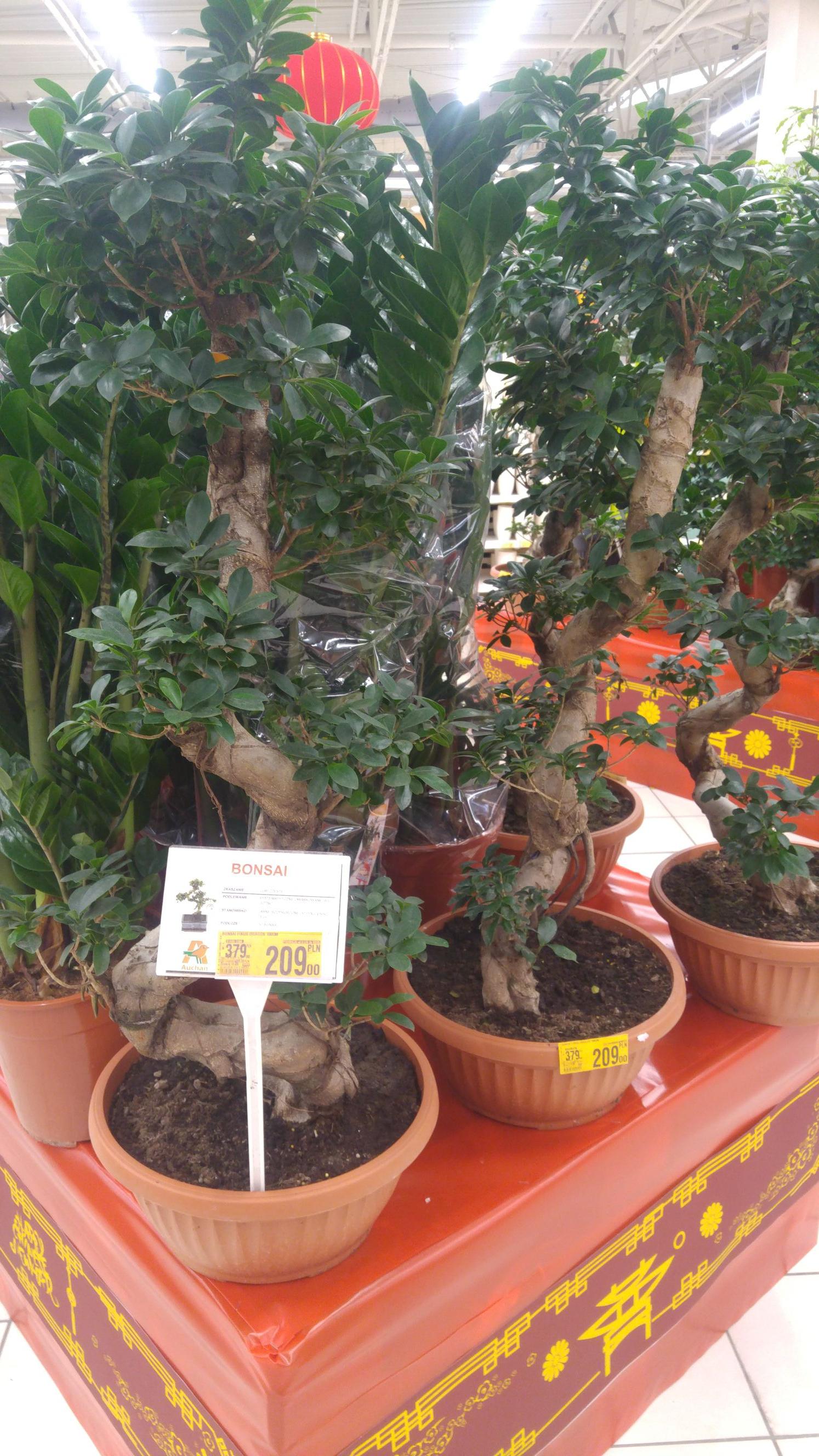 Drzewko Bonsai Fikus 100cm Auchan Wola Park