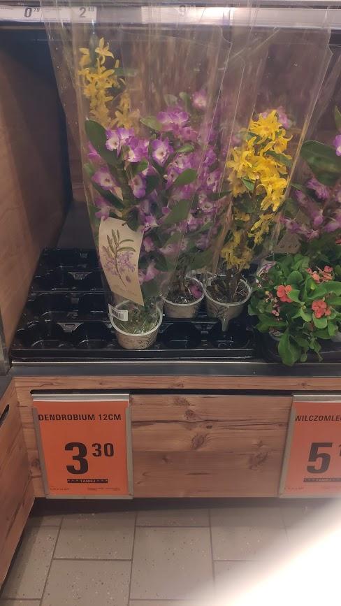 Kwiaty przecenione w netto dendrobium