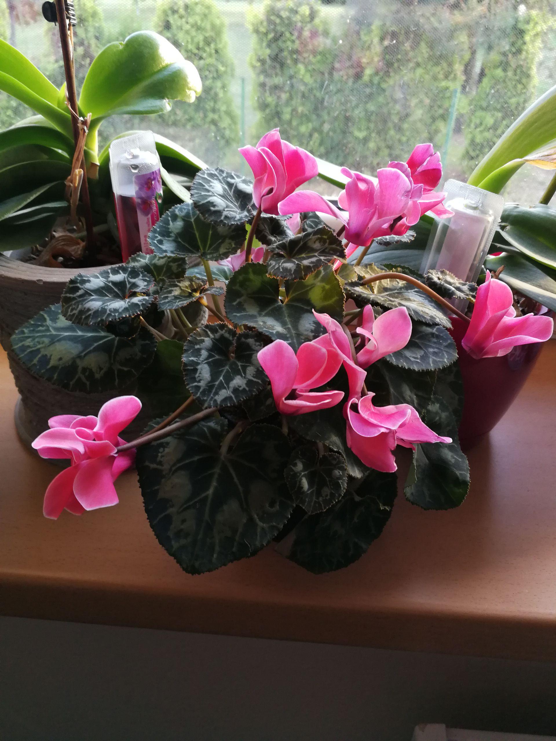 Cyklamen, biedronka + inne rośliny ogrodowe, kwiaty, ogród