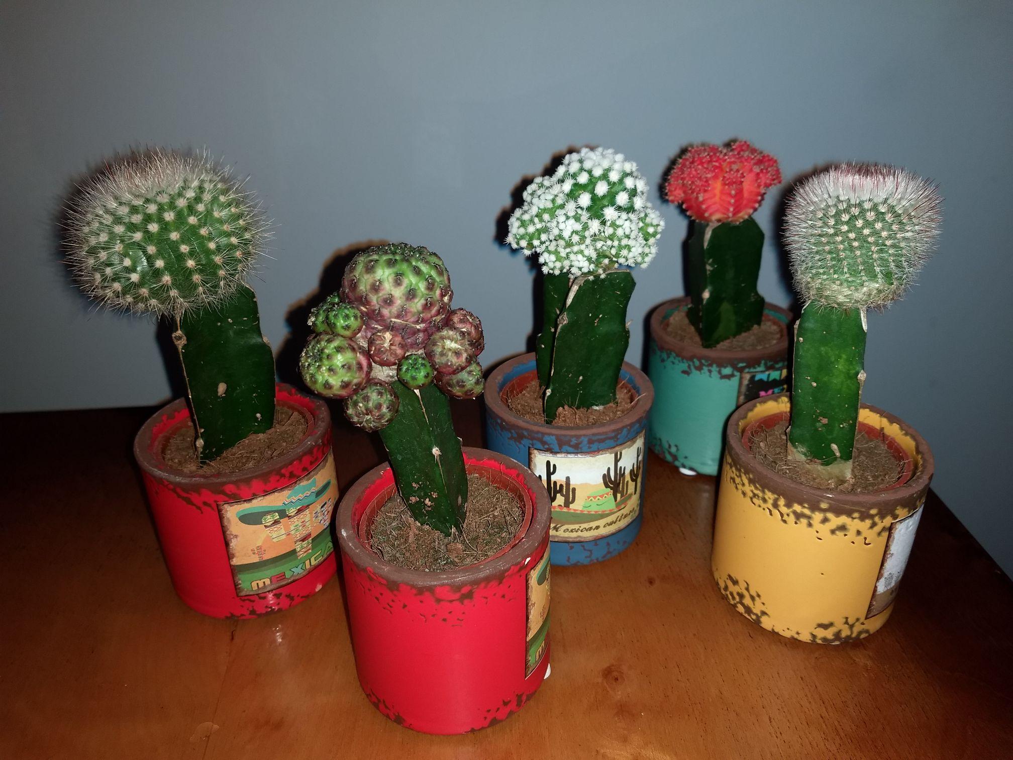 Małe kaktusy w ceramicznej doniczce - Biedronka