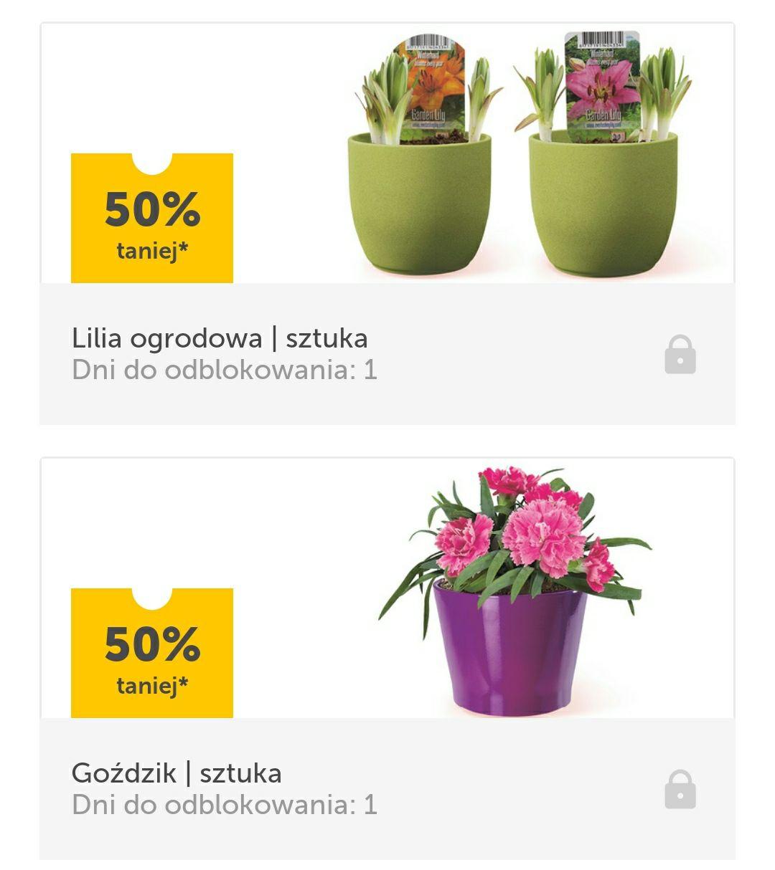 -50% na kwiaty(goździki, lilie ogrodowe,hortensje,rośliny pnące)- Lidl