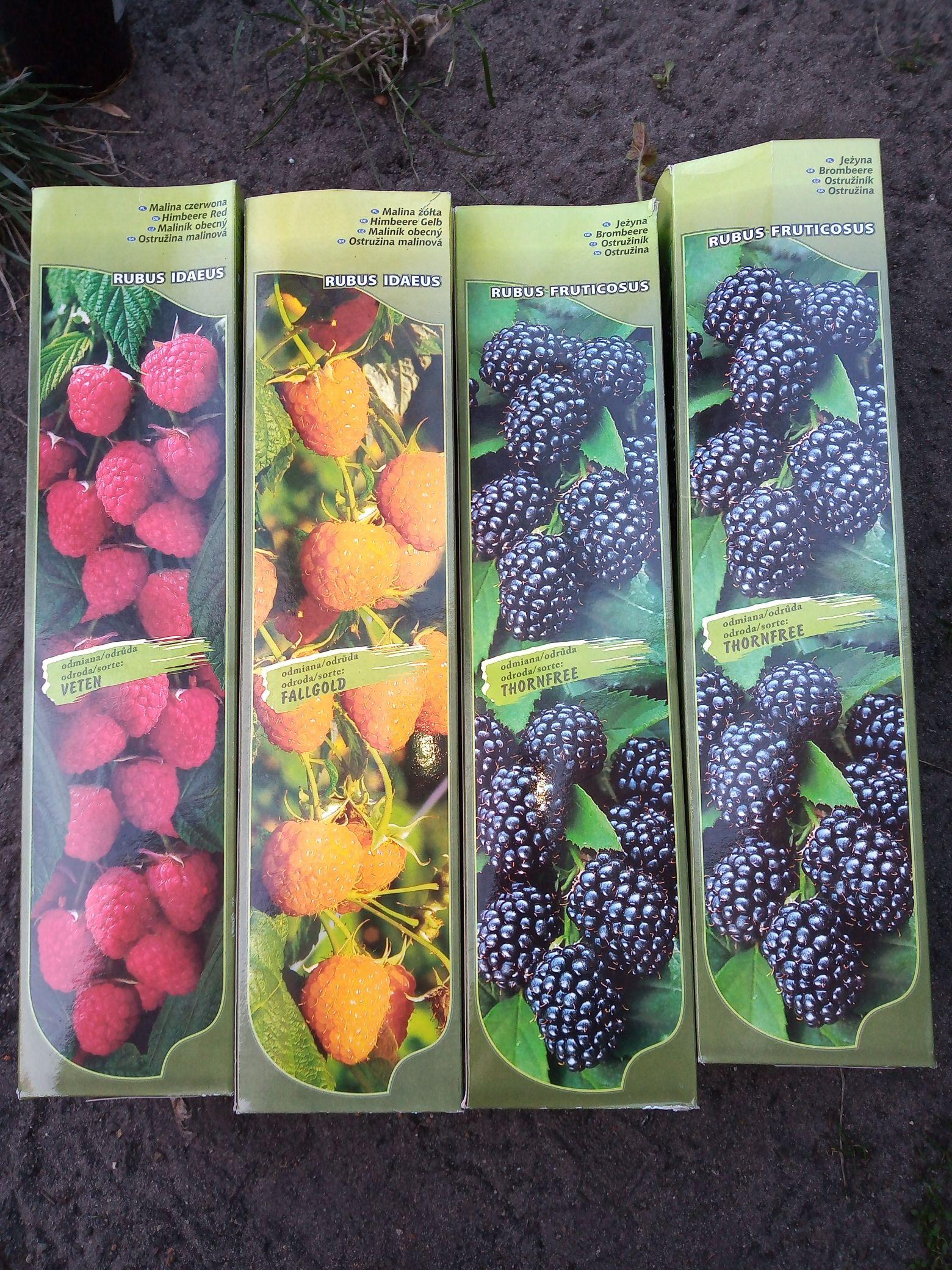 Wyprzedaż krzewów owocowych i ozdobnych... Kaufland ogólnopolska