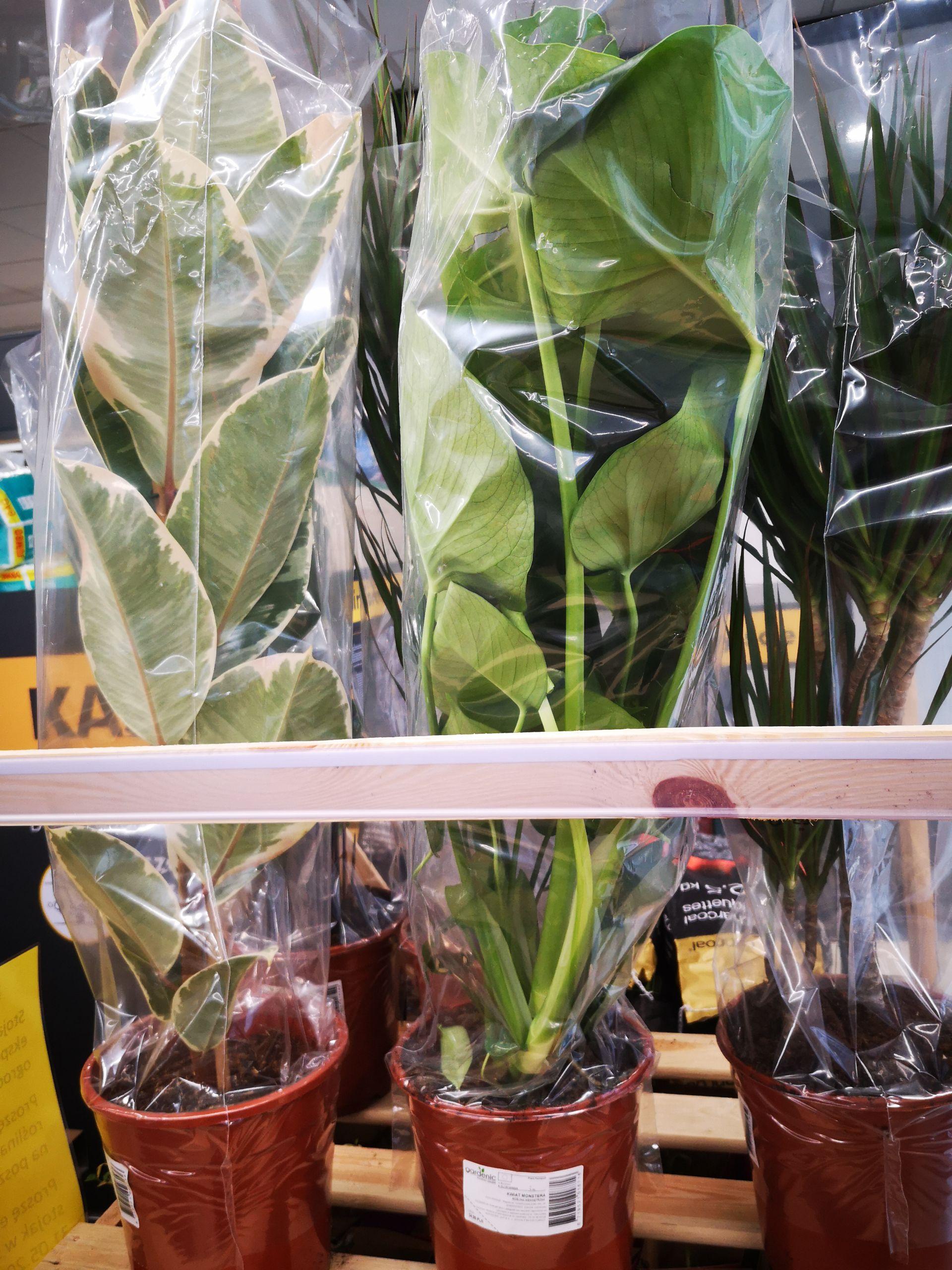 Duże i tanie rośliny w Biedronce