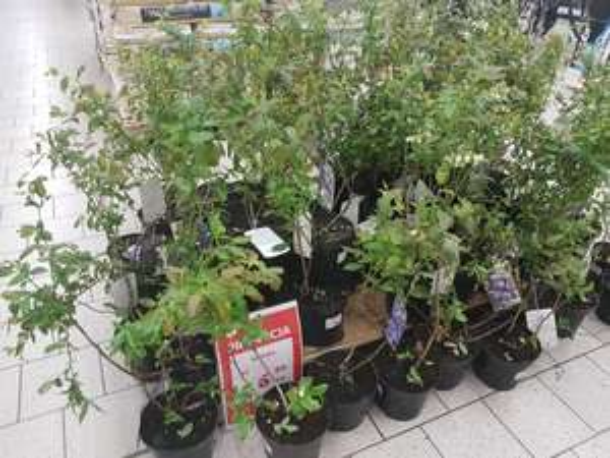Wyprzedaż krzewów owocowych Auchan i inne markety