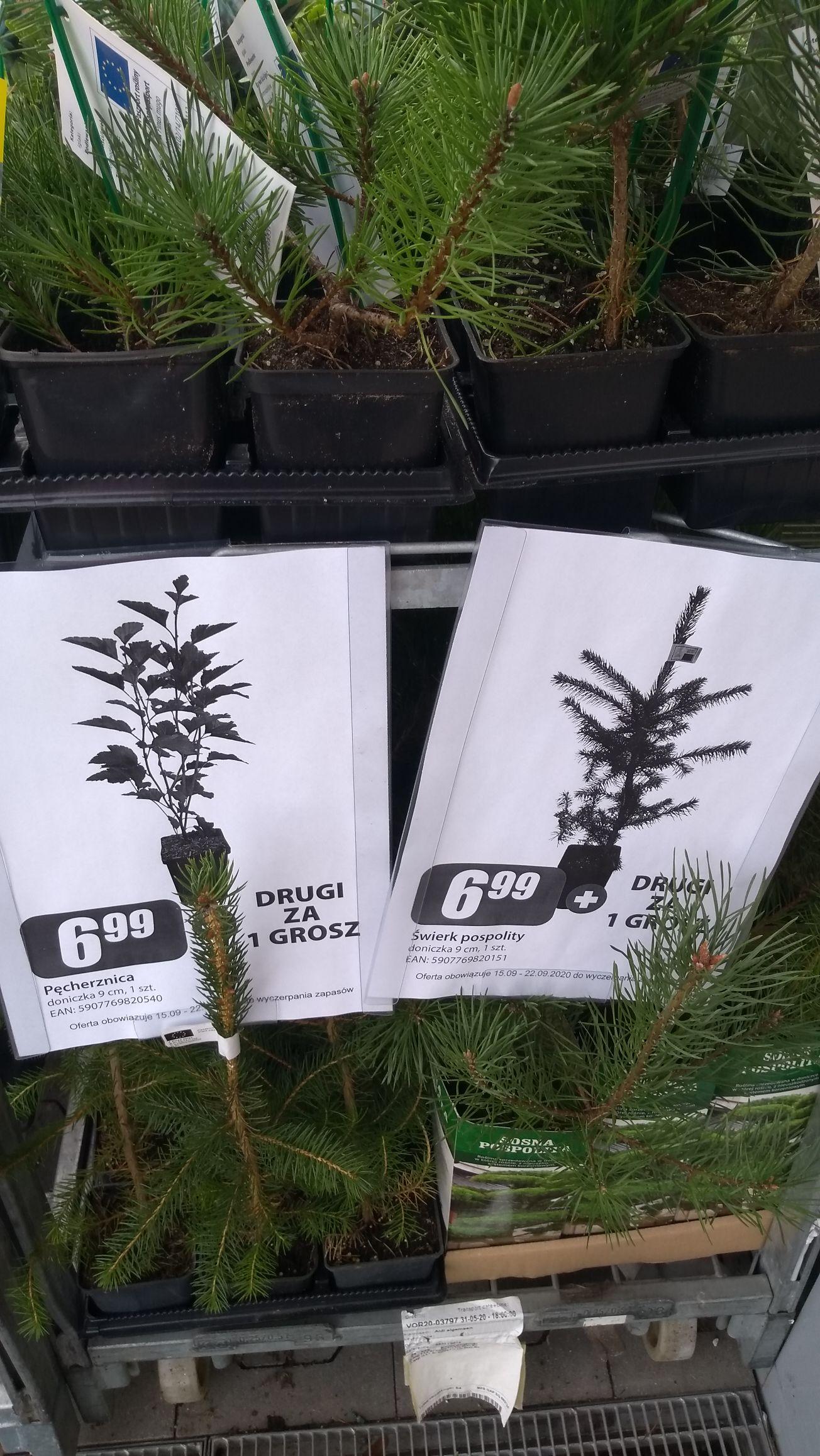Rośliny (sosna pospolita, świerk pospolity, pęcherznica) za 6.99+ drugi za 1gr w Dino