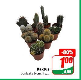 Kaktus @Dino