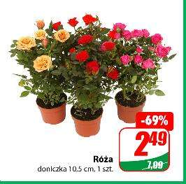 Róża 2,49 zł | Chryzantema 2,99 zł | Anthurium 5,49 zł | Phlebosia 3,49 zł @Dino