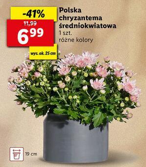 Polska chryzantema średniokwiatowa