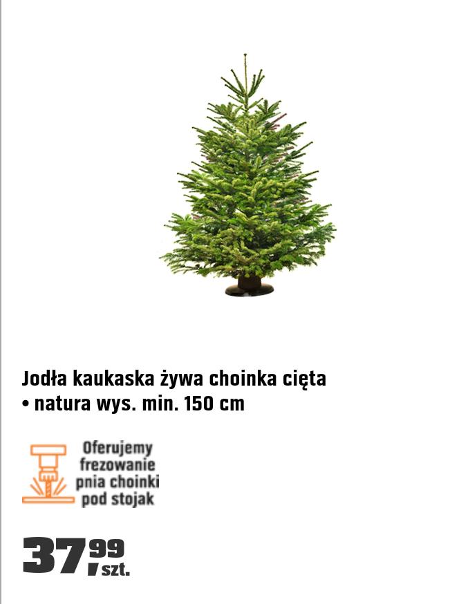 Choinka żywa - Jodła kaukaska - OBI