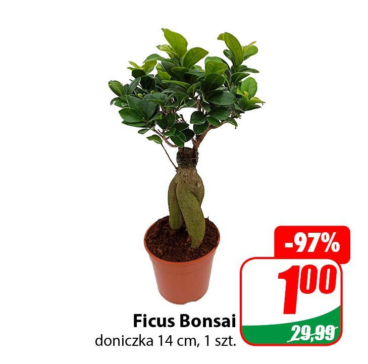 Kwiaty po 1zł (Ficus Bonsai, Dracena Golden Coast, Gwiazda Betlejemska, Kaktus) - DINO
