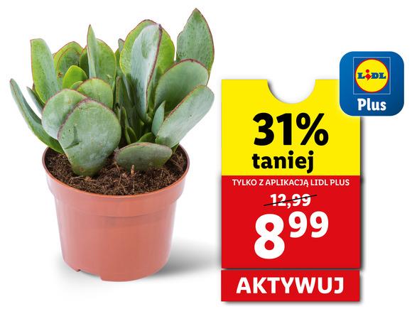 Wybrane kwiaty rośliny tańsze do 31% z aplikacją Lidl Plus