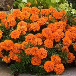 Nasiona kwiatów warzyw