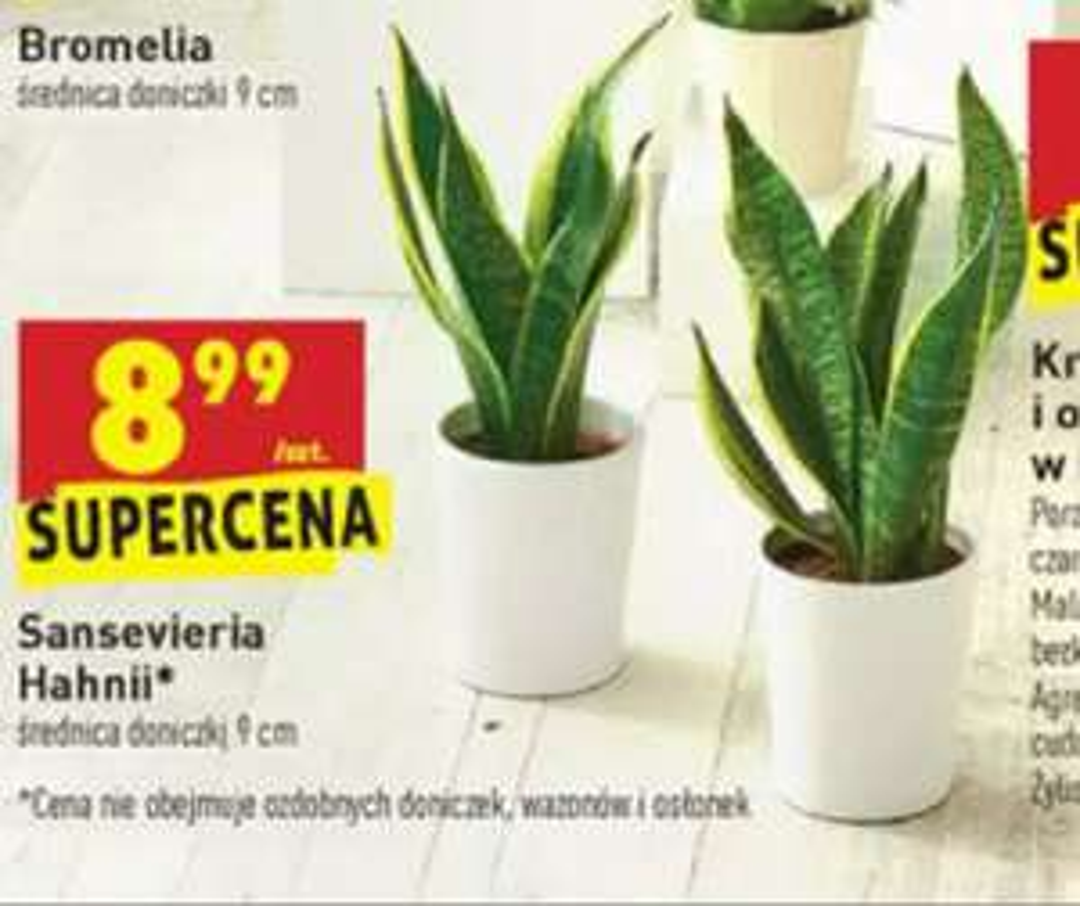 Sansevieria 'Hahnii' w dobrej cenie w Biedronce
