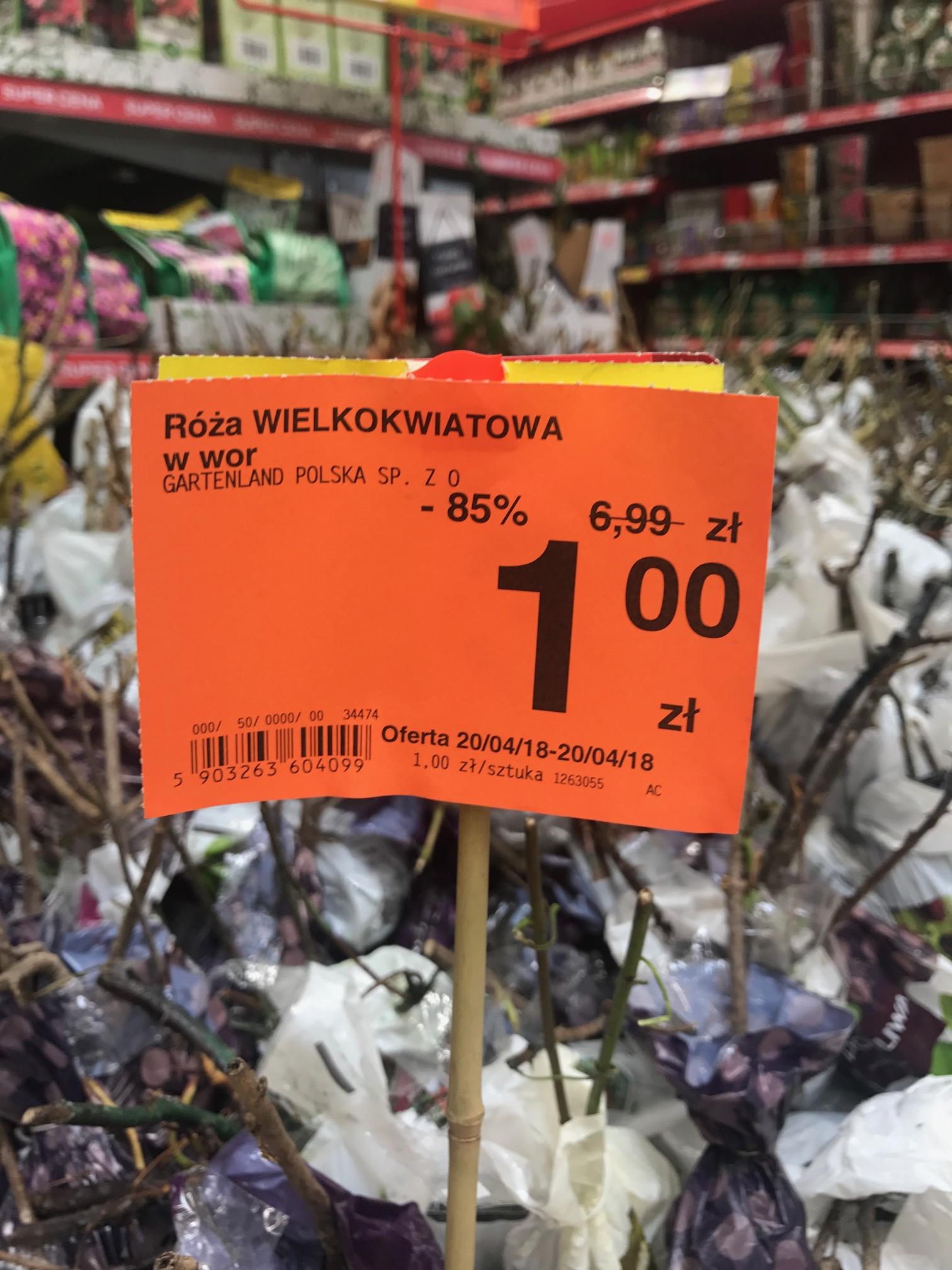 Carrefour Jaworzno sadzonki drzewka owocowe róża wielokwiatowa róża rabatowa itp