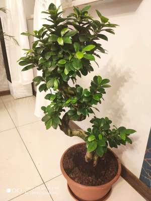 Drzewko Bonsai Ginseng Biedronka