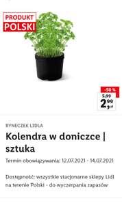 Kolendra w doniczce 1szt. /Lidl/