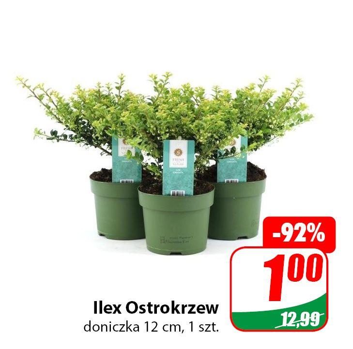 Rośliny w doniczce (Ilex Ostrokrzew, Powojnik Clematis, Świerk Kłujący) - DINO