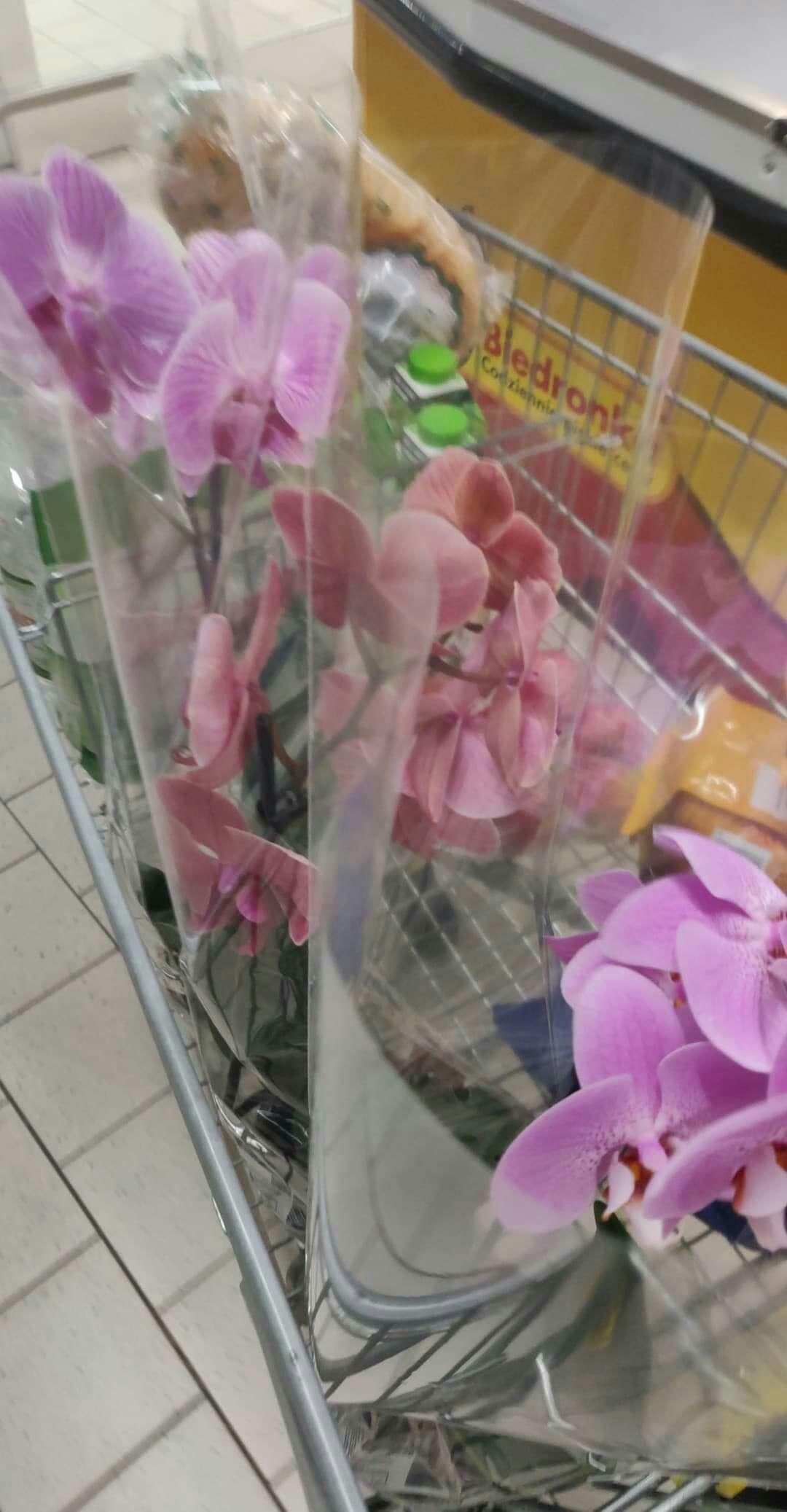 Biedronka, storczyk/orchidea za 9,99zl
