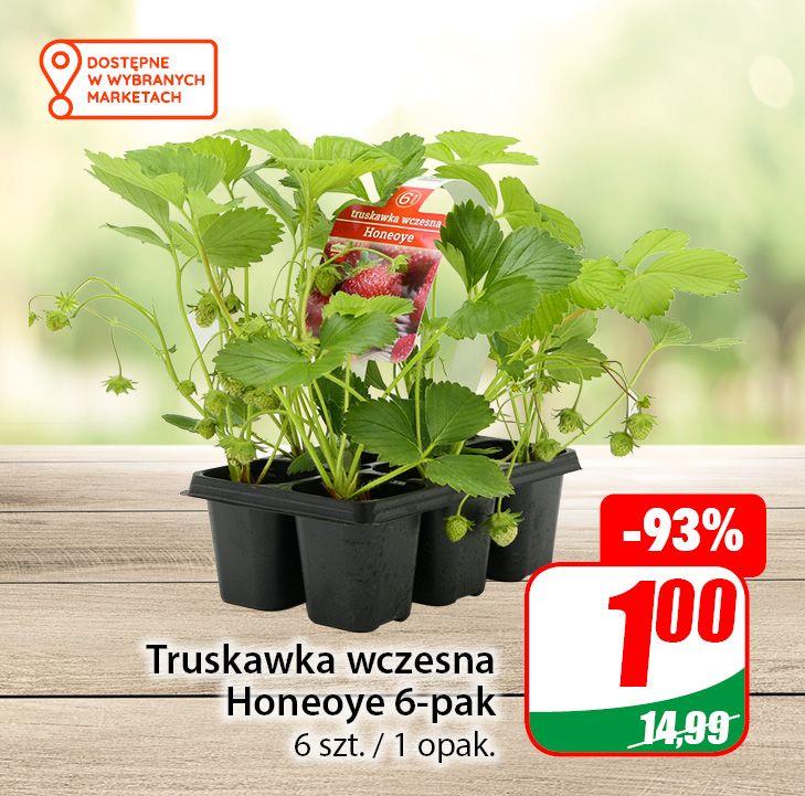 Truskawka wczesna Honeoye 6-pak oraz Ostrokrzew po 1zł - DINO