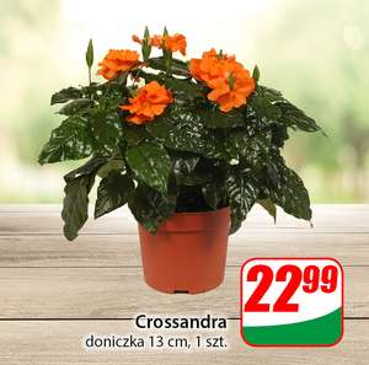 Crossandra - Dino